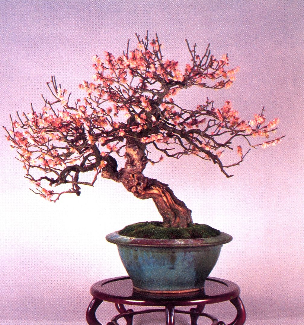 A beleza do Prunus Mune (Damasqueiro Japonês) | Aido Bonsai
