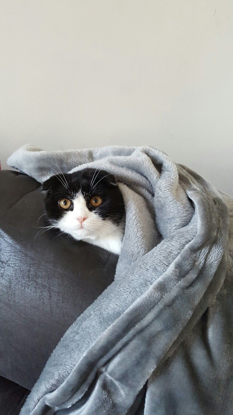 Cleopatra The Scottish Fold kitten cat. Black and white