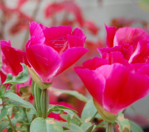 Hot Pink Godetia Flower Pictures Flowers Floral