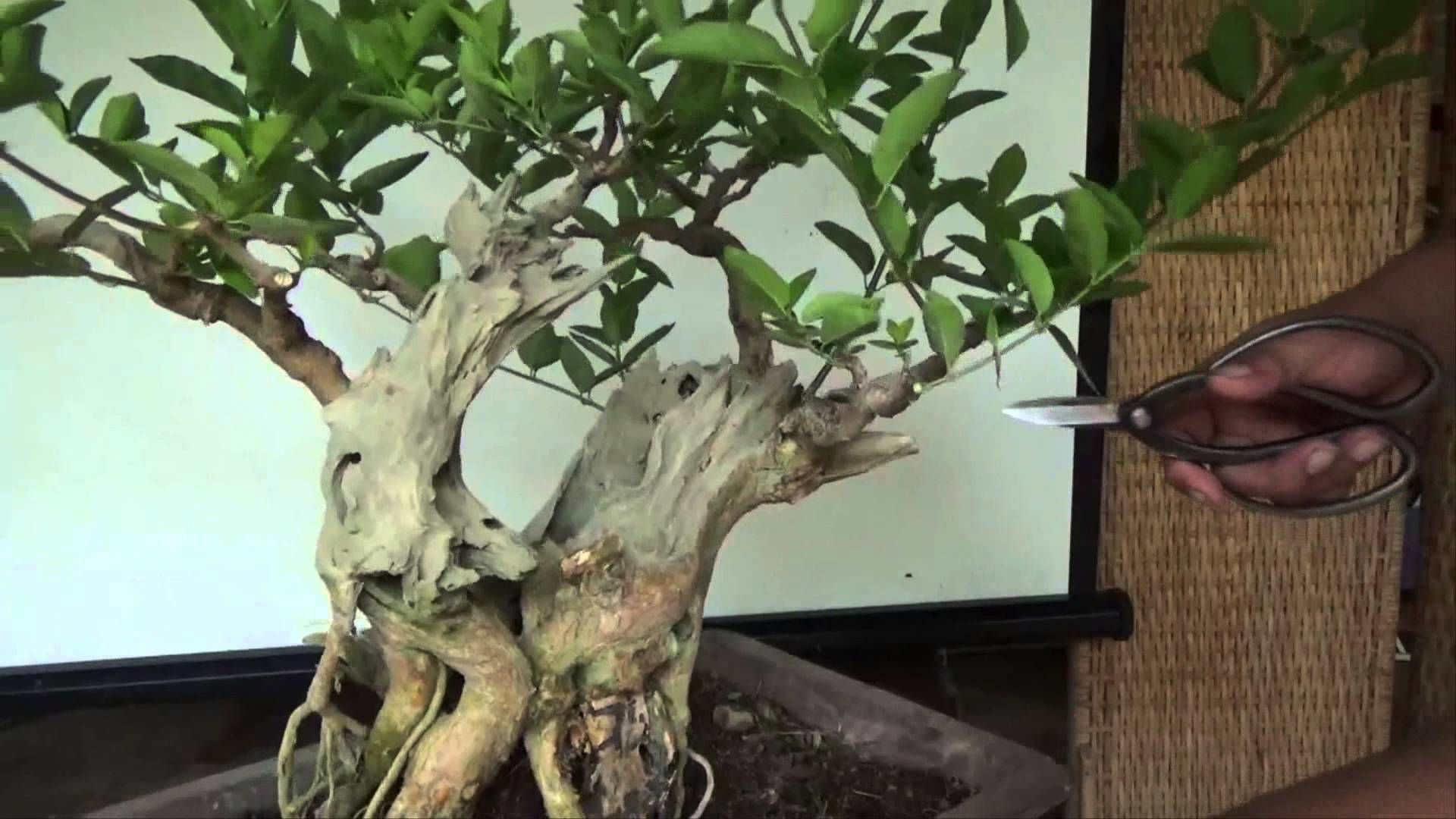 Bonsai Tutorials For Beginners How To Make Branch Structure Tree Wiring Video Tutorial Tropical And Deciduous Trees In This I Worked On A Medium Size Premna Which Is Far