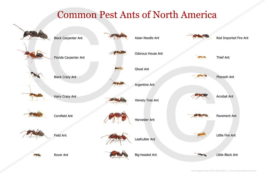 common pest ants of North America. Ant identification. | Naturally ...
