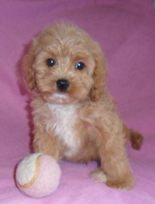 Gretchen Female Teddy Bear Schnoodle Puppy For Sale In Ohio