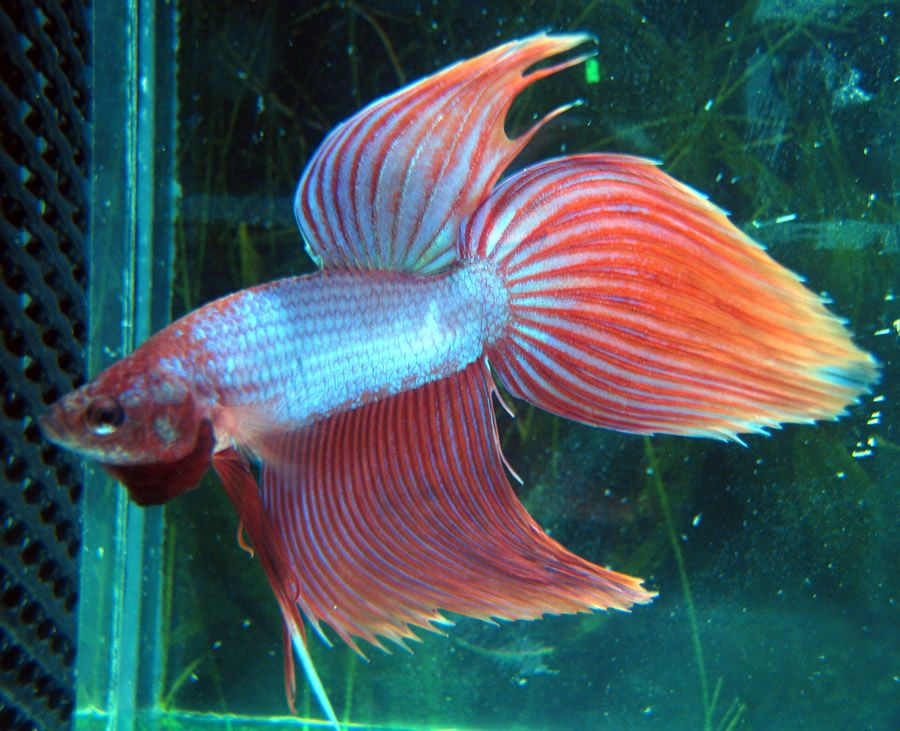 12 type of betta fish by tail types aquarium for fun for Types of pet fish
