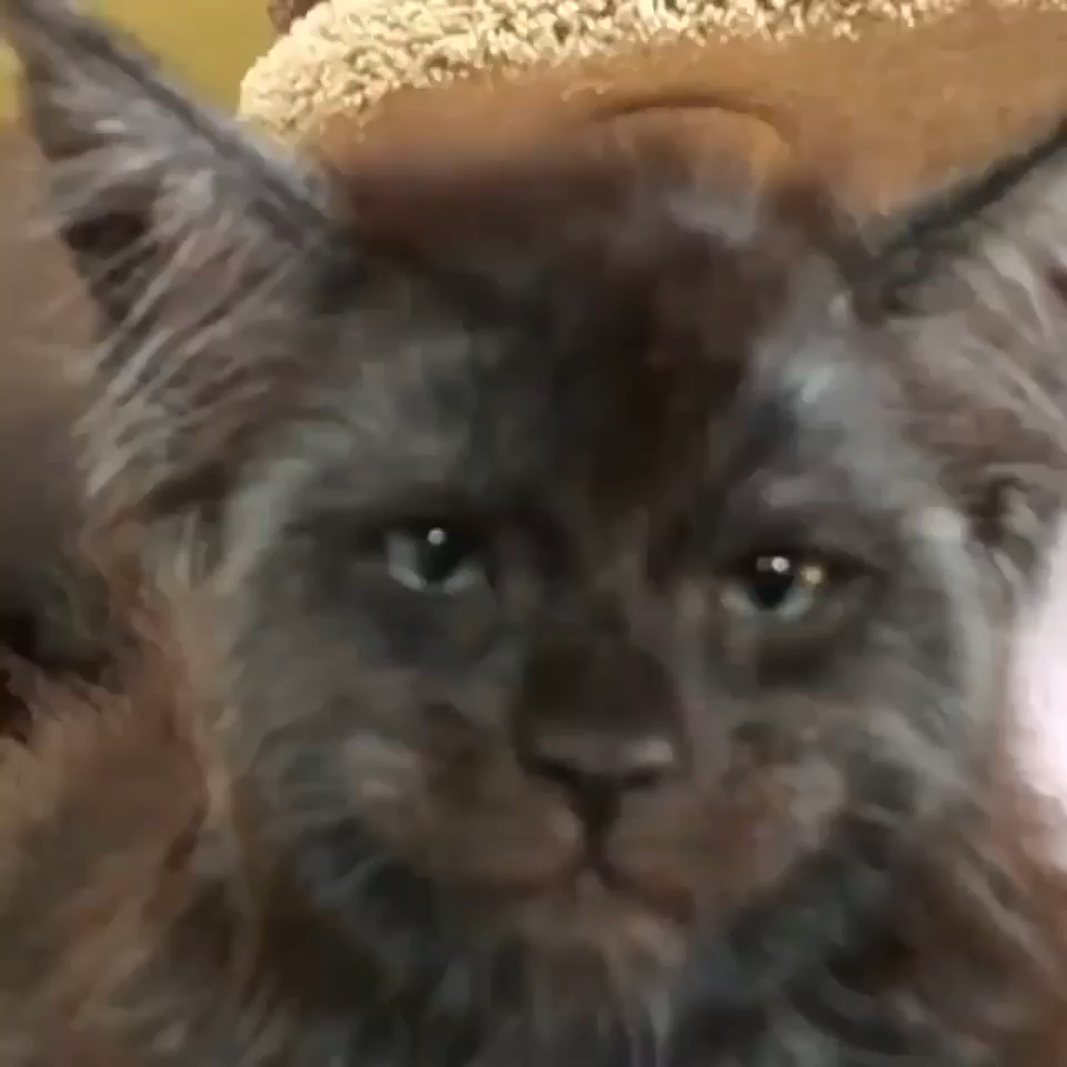 This cat has a human face... #funnydogs