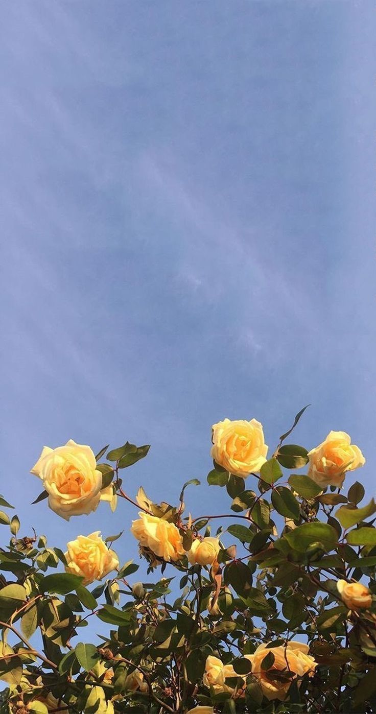 Yellow roses Yellow Aesthetic #yellowaesthetic Yellow roses Yellow Aesthetic