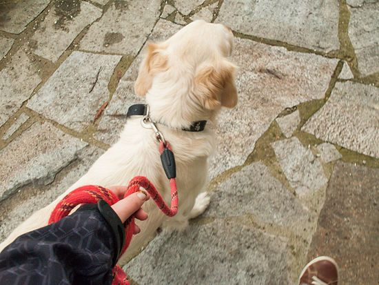 Train Your Dog To Walk Or Heel Without A Choke Chain Dog