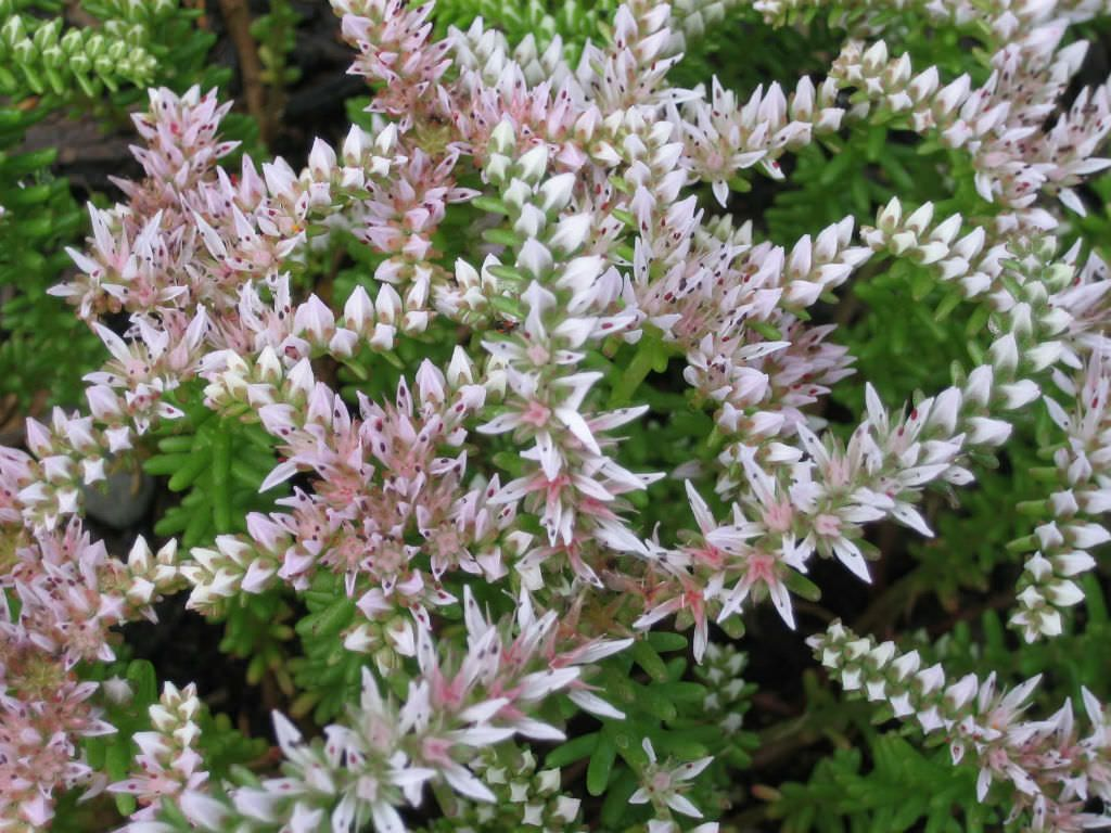 Sedum Pulchellum Widows Cross Is A Stonecrop With Ascending To Spreading Pink Light Green Stems That Typically Rise Up 12 Inches