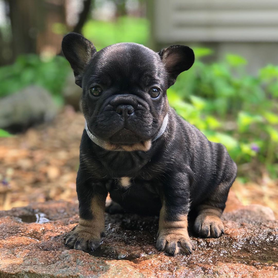 Black Tan Boy Hendrix 5 Weeks Old Looking For His Forever Home Frenchbulldogpuppiesforsale Tanf French Bulldog Puppies French Bulldog Frenchie Puppy
