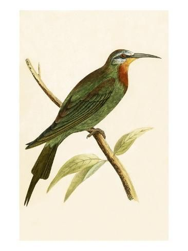 Giclee Print: Blue Cheeked Bee Eater, from 'A History of the Birds of Europe Not Observed in the British Isles' by English : 24x18in #britishisles
