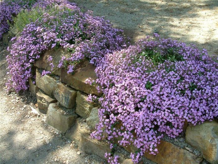 front yard along stonewall  love it  need more  plant photo of  saponaria ocymoides  soapwort