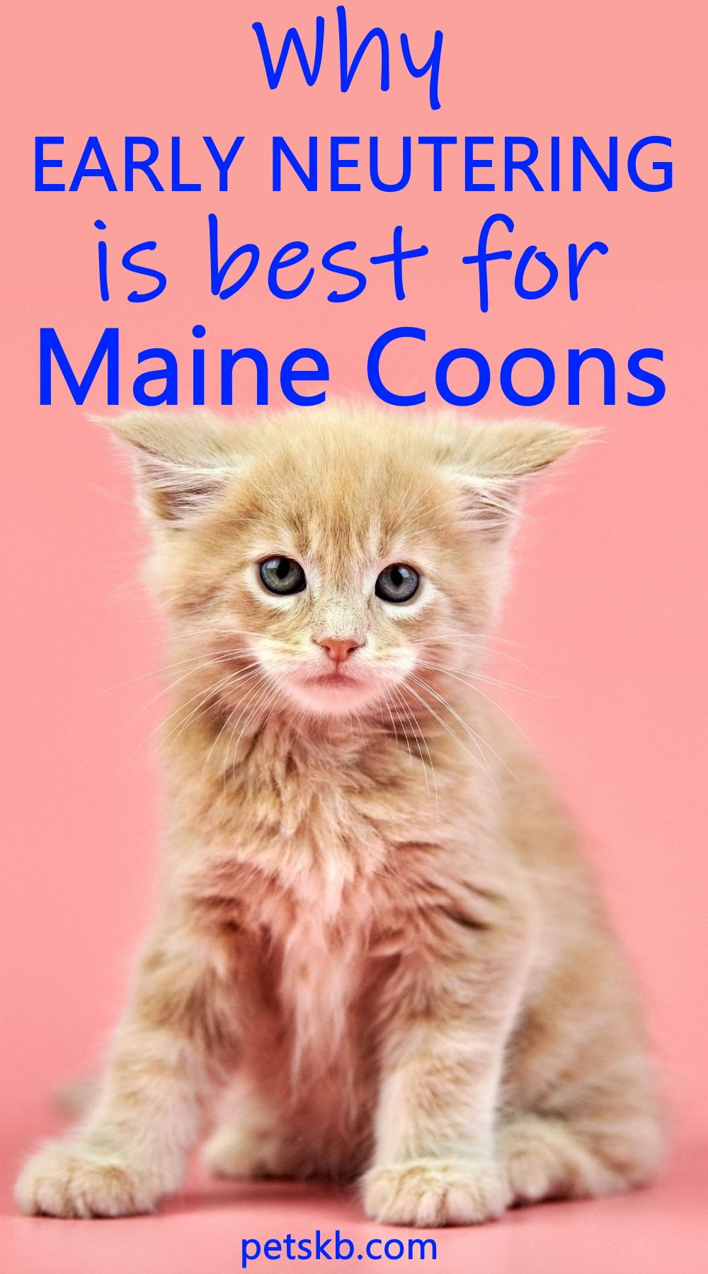 Pin On Maine Coon Kitten Care