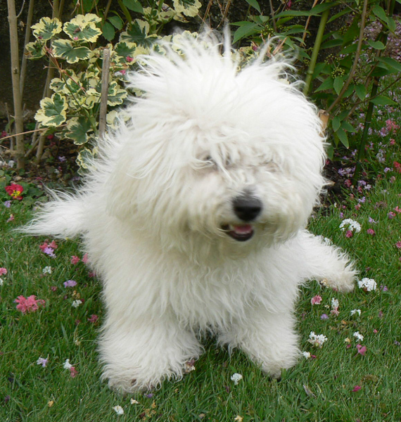 Bichon Frise Puppy With Long Messy Hair Png Bichon Frise Bichon Frise Puppy Bichon