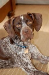 Jason Aldean is an #adoptable German Shorthaired Pointer Dog in #Alpharetta, #GEORGIA. Jason Aldean is a fun, smart, energetic German Shorthaired Pointer who is fantastic with kids and would fit in great with...