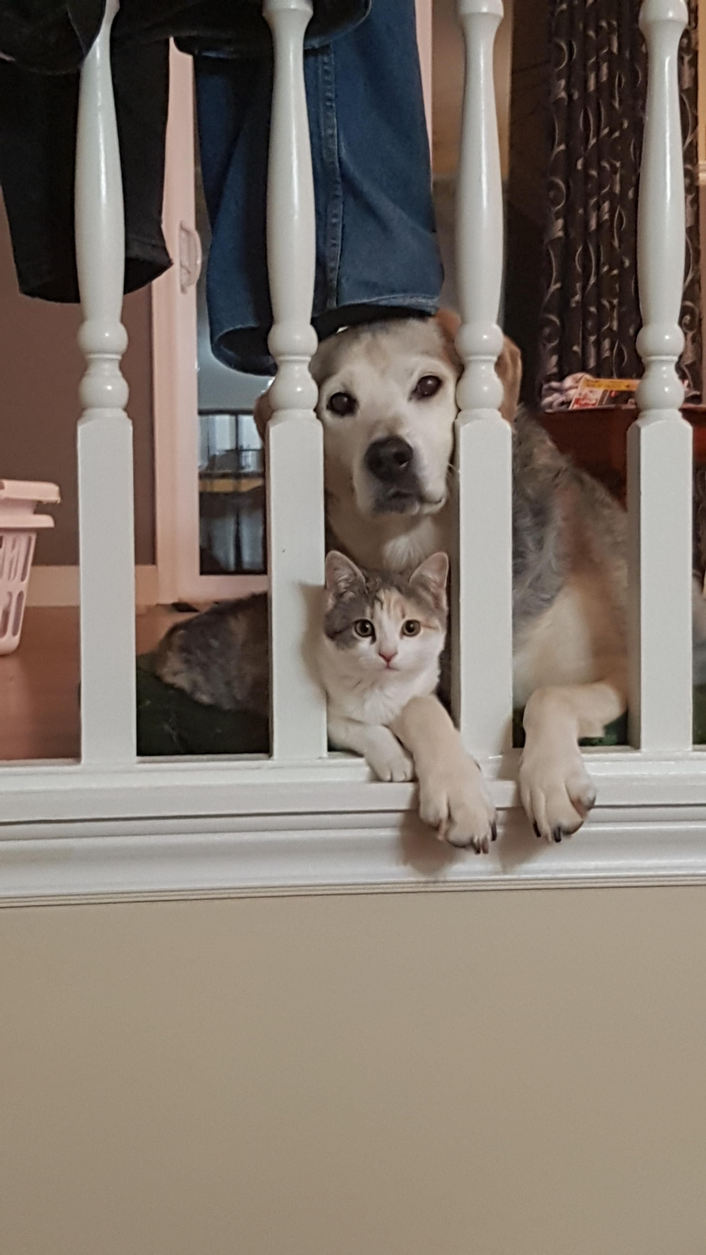 I Seen This When I Walked In Retired Therapy Dog Gets A Kitten Take 2 Http Ift Tt 2e0bdyx Dogs Dog Cat Pets