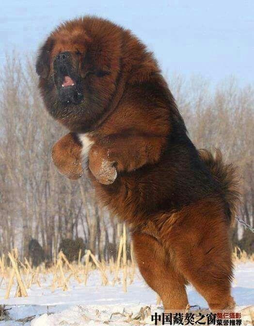 Tibetin Mastiff Fluffy Dogs Dog Breeds Huge Dogs
