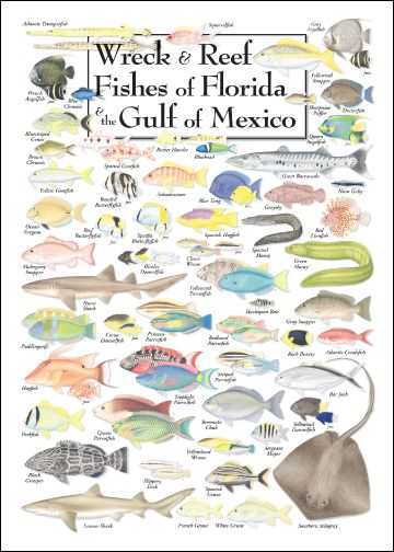 Wreck and reef fishes of florida and the gulf of mexico for Types of fish in the gulf of mexico
