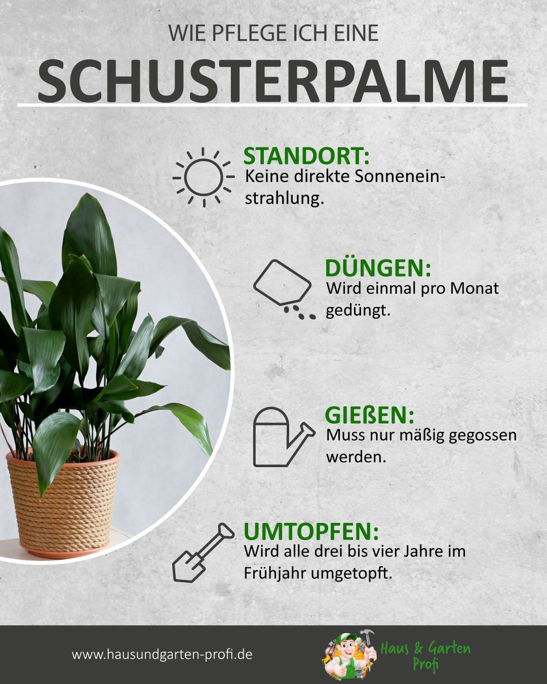 Schusterpalme Richtig Dungen Giessen Umtopfen Sowie Den Richtigen Standort Fi In 2020 Pflanzen Zimmer Ungewohnliche Pflanzen Pflanzen Indoor