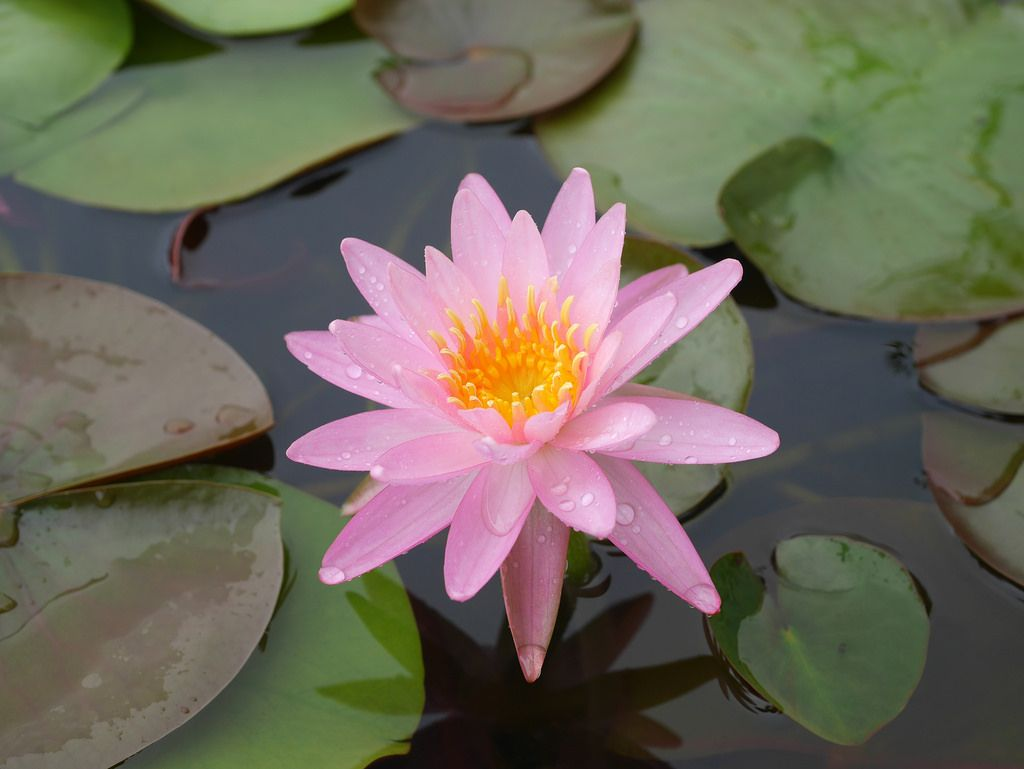 Nymphaea Rose Arey Hardy Waterlily Thailand 006 Pinterest Cut
