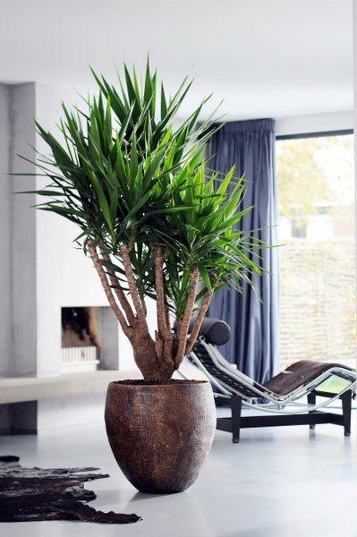 een yucca is zo'n grote plant die makkelijk in onderhoud is, en je, Deco ideeën