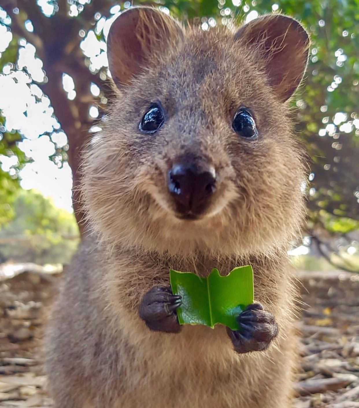 Pin by Kim Lancaster on Cuteness! | Cute animals, Quokka ...