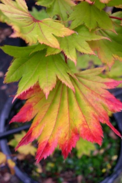Japanese Maple Tree Varieties | Mendocino Maples Nursery #japanesemaple