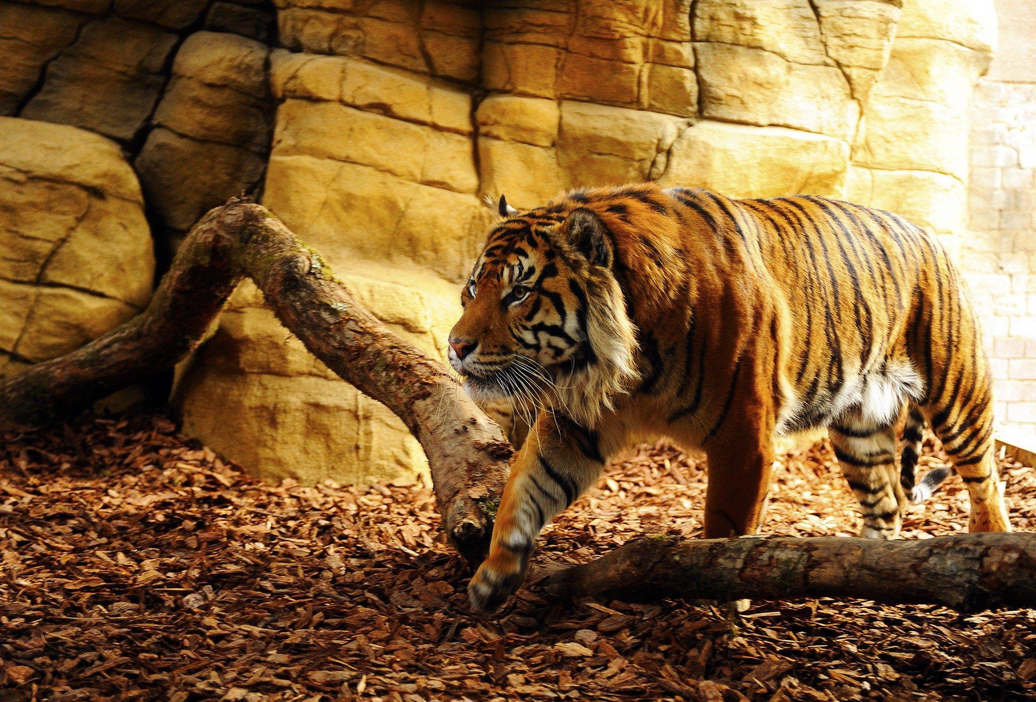 2048x1389px tiger background desktop freedash leapman