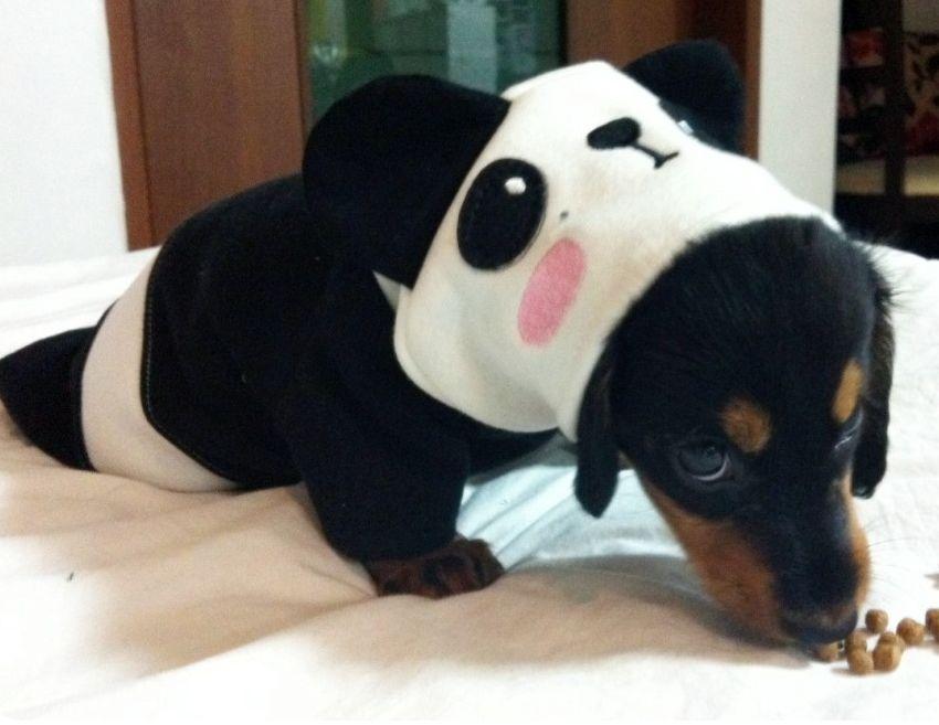 Daschund Daschie Puppy Panda Cute Adorable Funny Wiener Dog