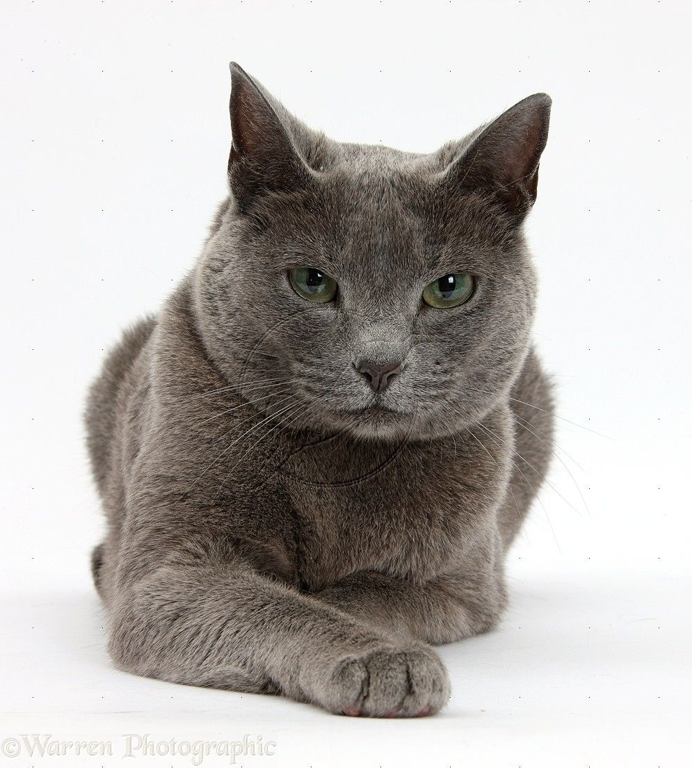 Russian Blue Female Cat With Green Eyes Photo Russian Blue Cat