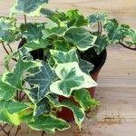 Las mejores plantas de interior para mejorar la calidad del aire Hedera Helix 150x150 jardines y paisajismo casas ecologicas 2
