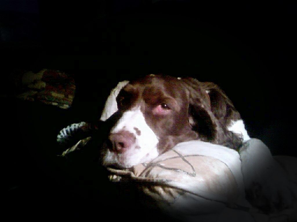 Said goodbye to Jesse yesterday. 14 years at my side, through every problem and accomplishment. He was more than a dog... like my friend, always there to bring me down to Earth and forget my problems, and elevate my life with his beautiful personality. When I needed him the most, he wouldn't leave my side. Sometimes all I needed was a sniff, a few face licks, a nudge or a snout nuzzled in my chest.