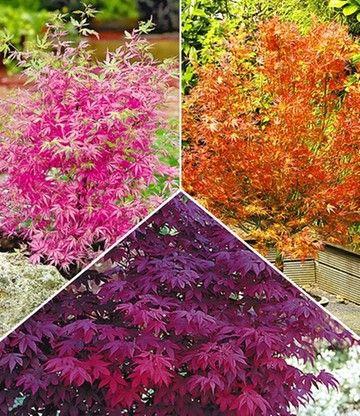 Japanische Ahorn Kollektion 1a Qualitat Kaufen Baldur Garten Bepflanzung Vorgarten Pflanzen Pflanzen