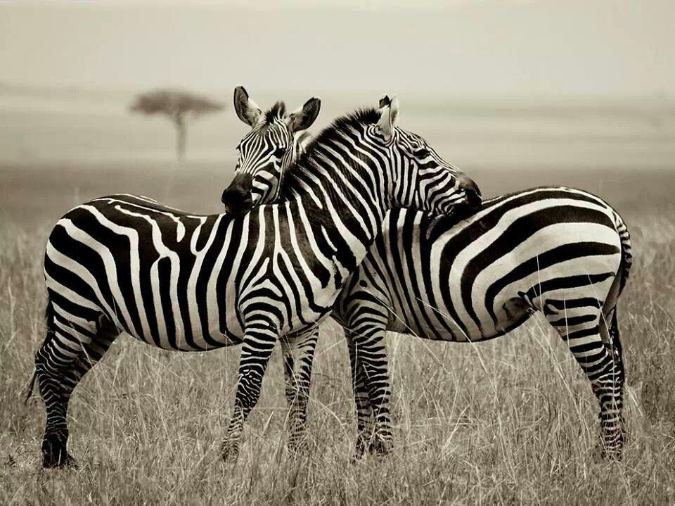 Zebra....crossing...