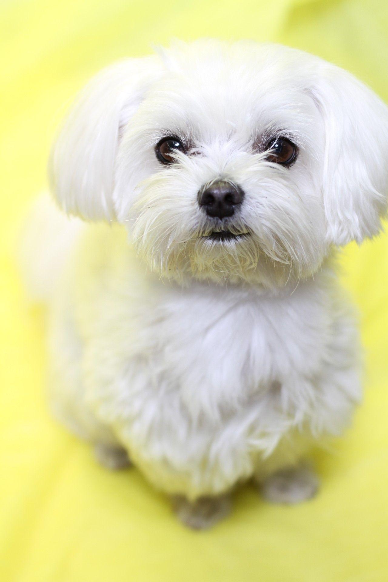 サービス終了のお知らせ Maltese Dogs Maltese Puppy Cute Dogs