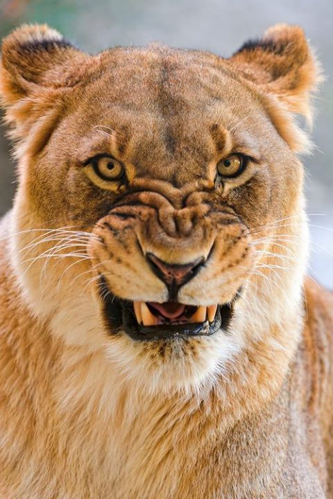 Not So Happy Lioness With Images Animals Beautiful Animals