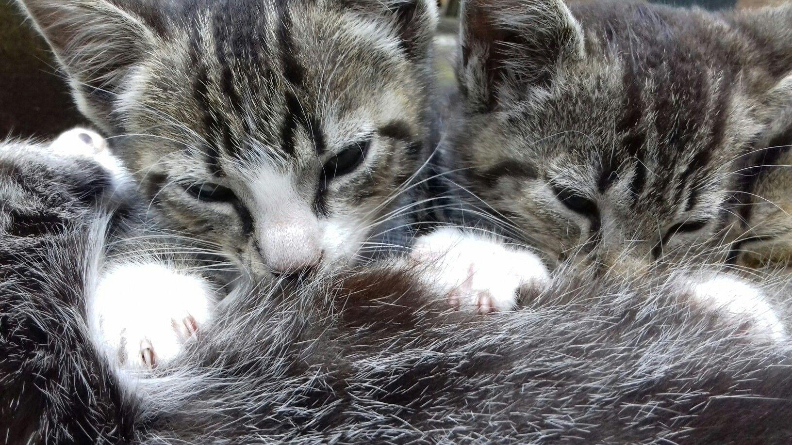 kittens die drinken bij moeder schattig om te