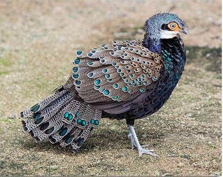 Bornean Peacock Pheasant. In danger of disappearing.