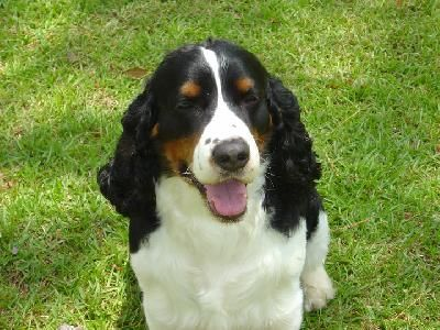 Breeder Classified Ads From Dog Breed Info Center R Springer