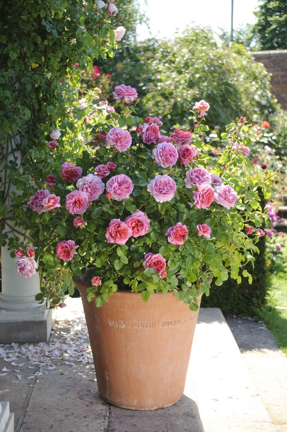 Rosa Rampicante In Vaso princess alexandra of kent in terracotta pot #davidaustin