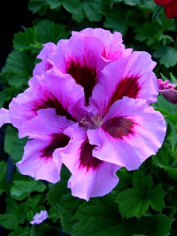 Geranium Archie Pope Pelargonium Container Gardening
