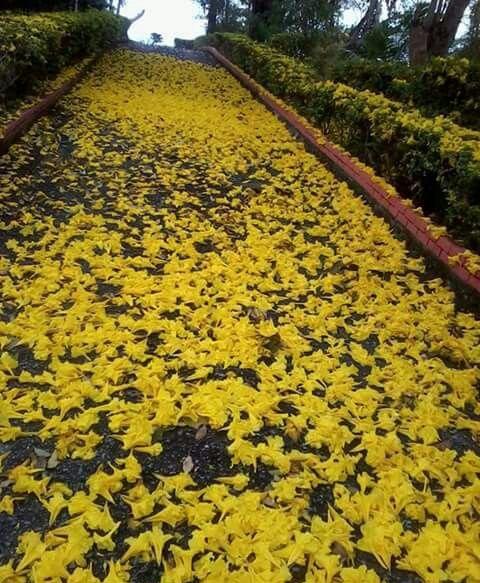 Road Full Of Yellow Poui Flowers In May Ashas Eco Resort Tobago