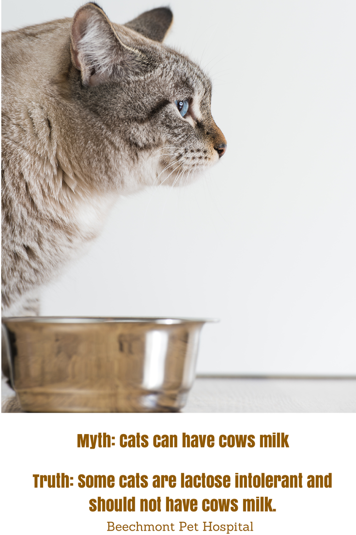 Just Like People Cats Can Be Lactose Intolerant The Most Common Symptom Of Lactose Intolerance In Cats Is Diarrhea Cats Do Not Ne Animal Hospital Cats Myths