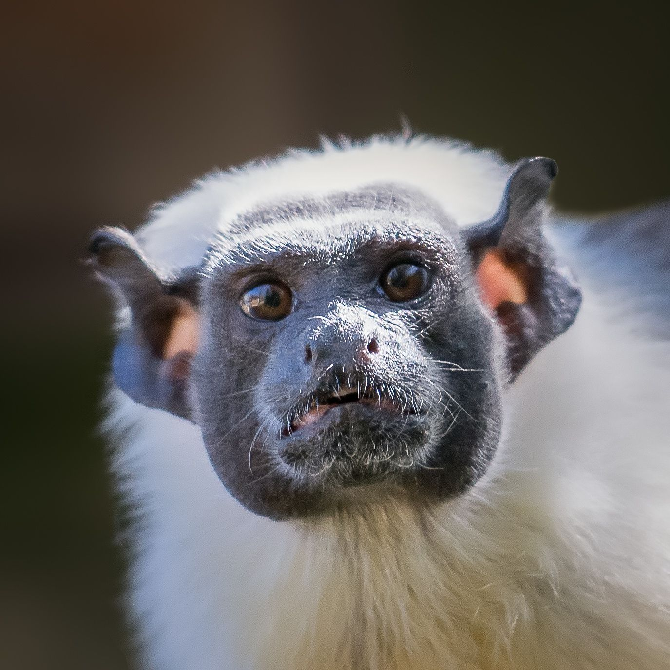 Pied Tamarin - These could be the coolest ears around... by Charlie Wylie - Photo 105216989 - 500px