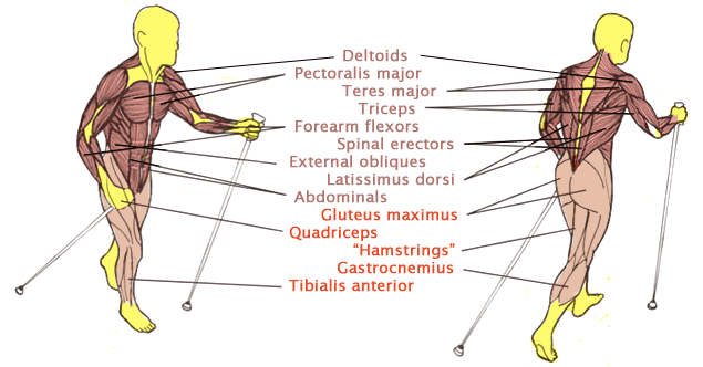 Nordic Walking exercises 90% of all muscles. In ordinary walking, only the muscles of the buttocks and legs do significant work. See Realizing the Potential of Nordic Walking. Credit: Tom Rutlin, Exerstrider®.