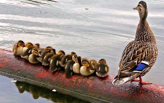 (2) Одноклассники | Домашние птицы, Самые милые животные ...