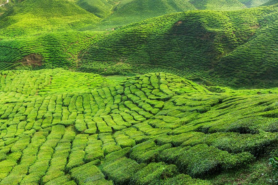 Cameron Highlands (Malaysia). 'Misty mountains, gumboots