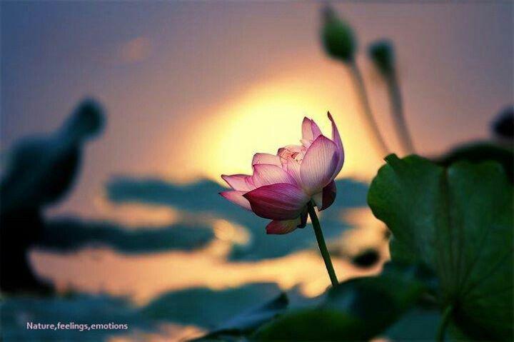 Pin By Amanda Enloe On Flowers Lotus Garden Flowers