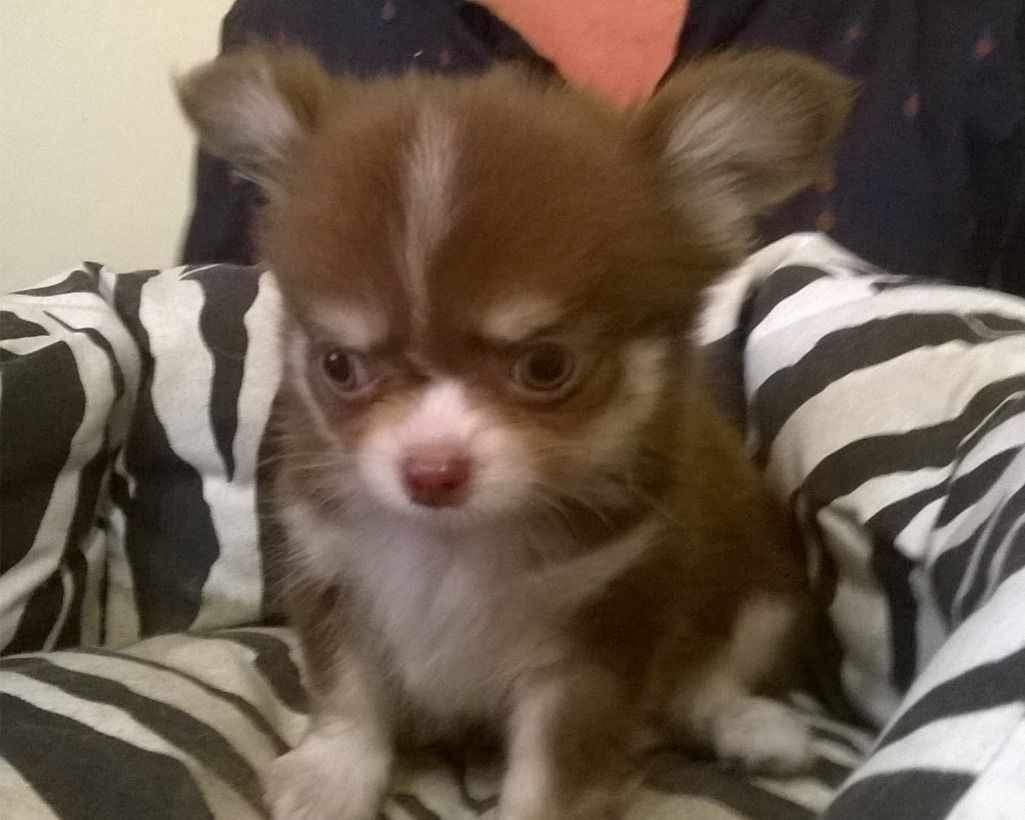 Chihuahua Cuccioli Pelo Lungo Con Pedigree Enci Annunci Animali
