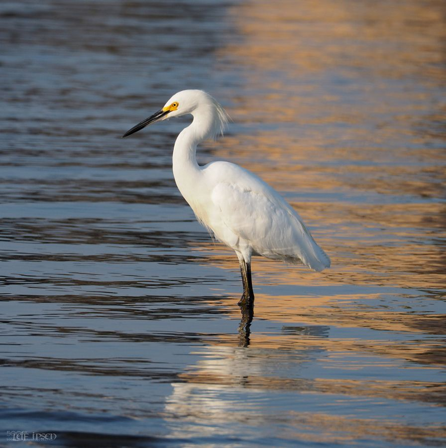 This Snowy Egret was hunting for its dinner at the beach of Marina Del Rey Los Angeles. Pretty elegant in the sunset light   ___ Camera: Olympus OM-D E-M10