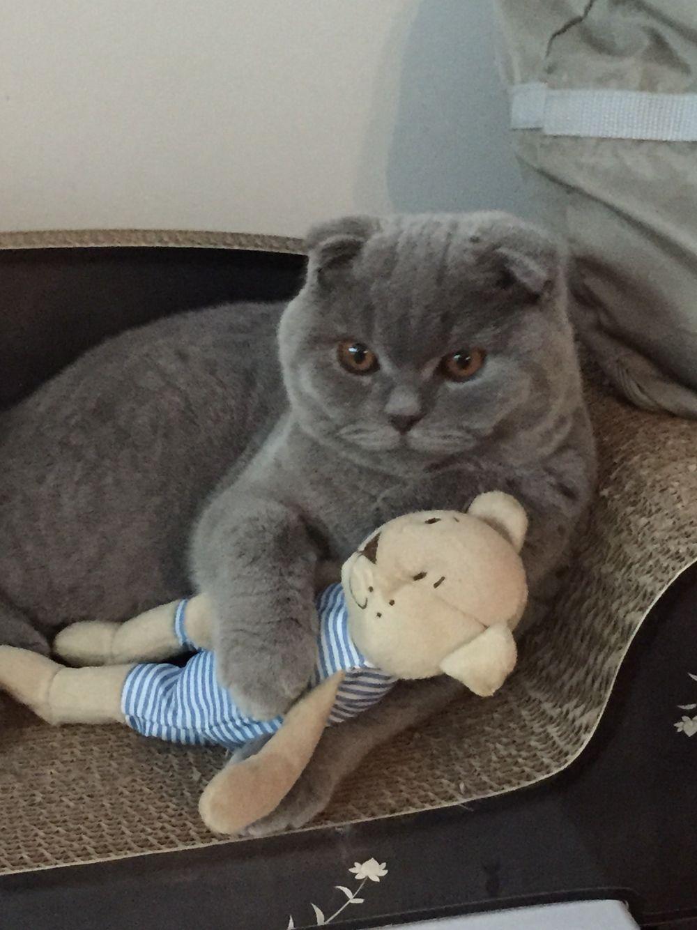 Pin Ot Polzovatelya R2 Na Doske Cats Scottish Folds Kot