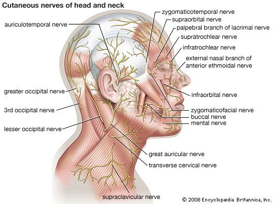 How many nerves in the face bing images esthetics pinterest how many nerves in the face bing images body diagramlymphatic ccuart Gallery